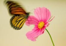 """Butterfly in Motion"" by fotonut2007 (CC)"